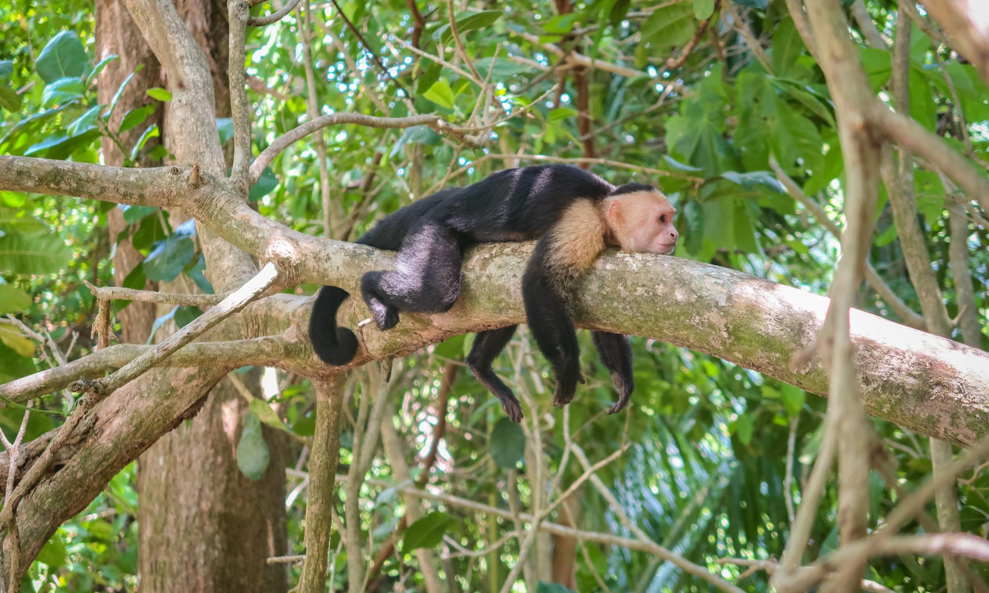 Entspannter Affe im Manuel Antonio Nationalpark bei Quepos
