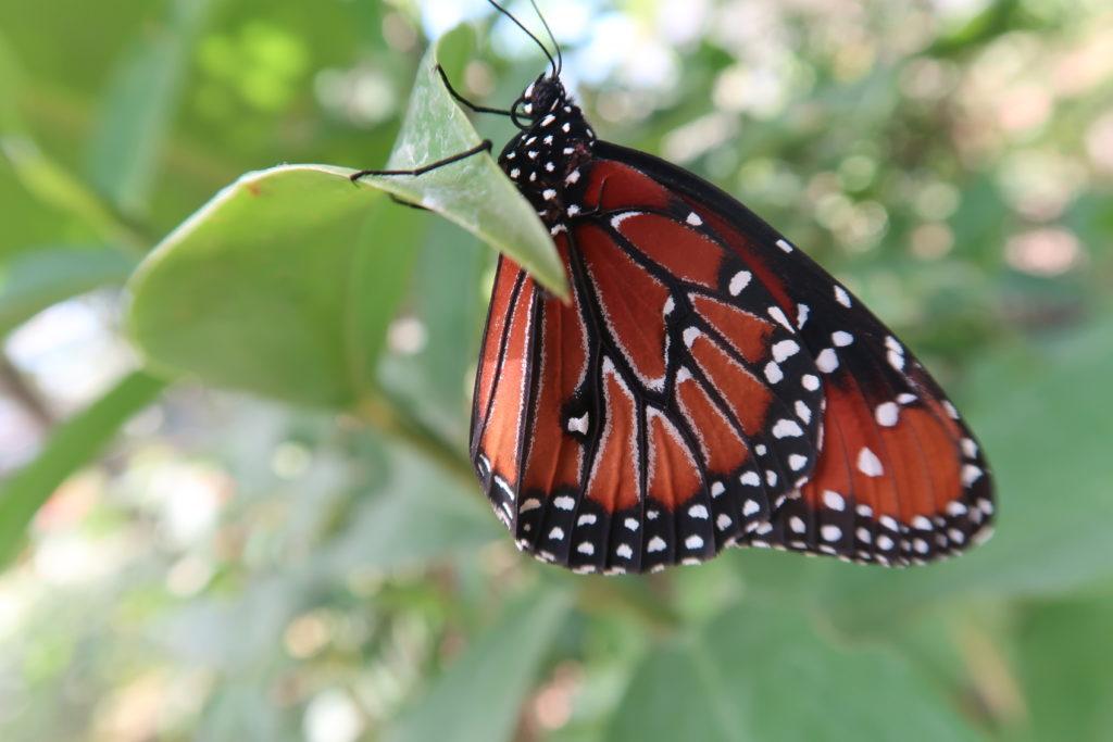 Schmetterling auf Ometepe