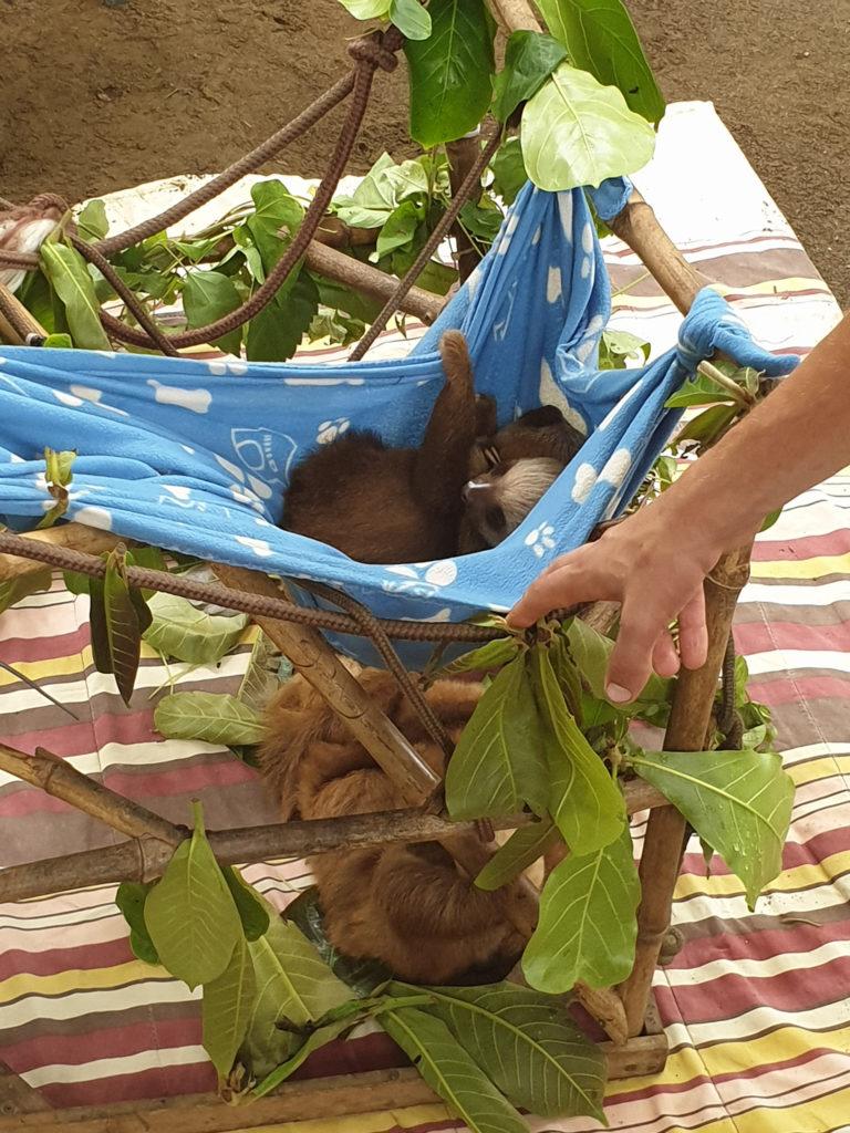 Babyfaultiere im Jaguar Rescue Center
