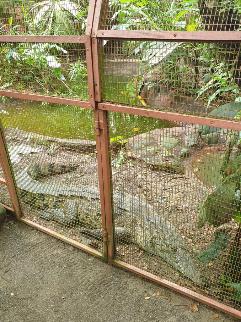 Krokodil im Jaguar Rescue Center