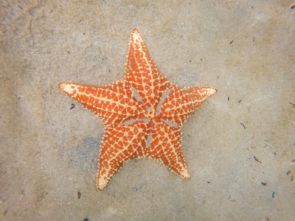 Seestern am Playa Estrellas