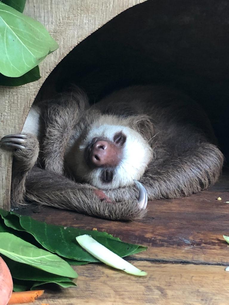 Faultier im Jaguar Rescue Center bei Puerto Viejo