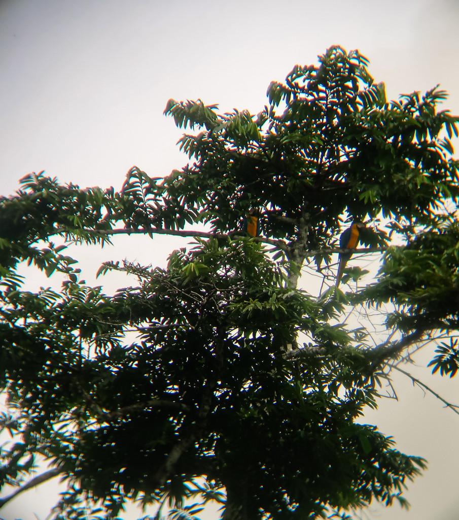 Maccaus im Dschungel