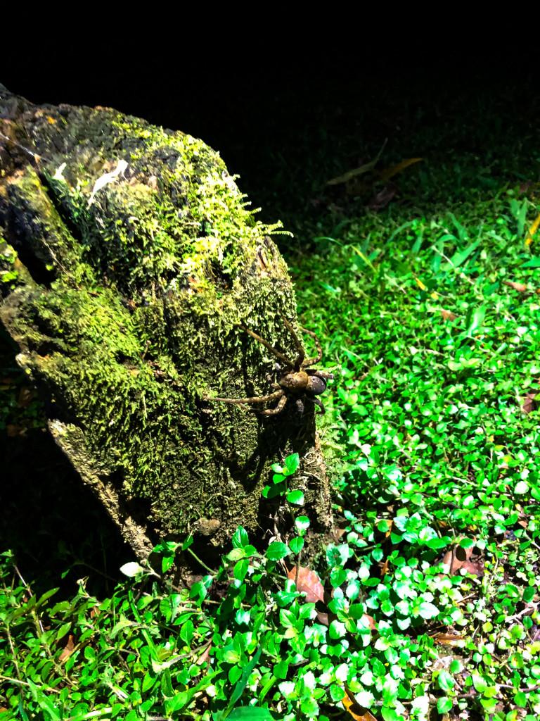 Hunting Spider am Baum