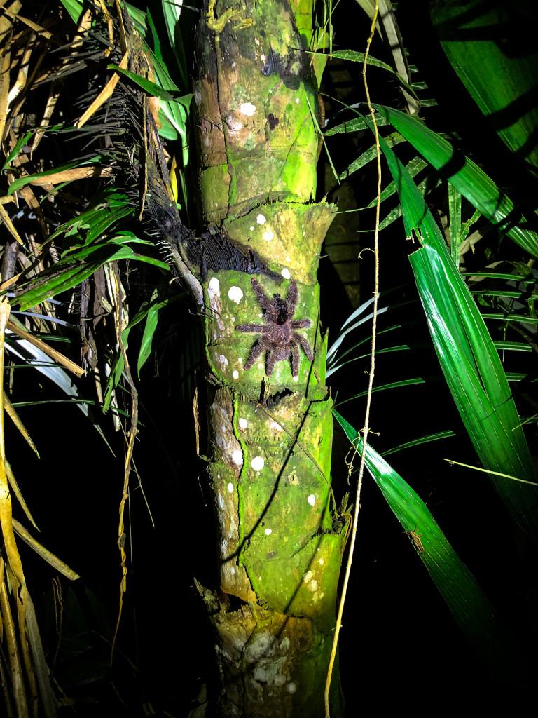 Tarantel am Baum